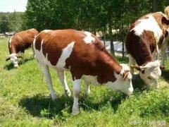 养牛的利润与成本(一头牛可以赚六千?)