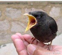八哥鸟价格多少钱一只?(附:饲养八哥鸟的经