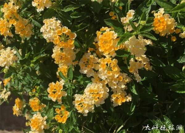 五色梅,在最美花季的遇见