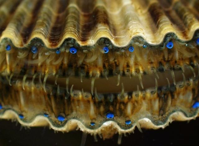 扇贝的眼睛,想知道扇贝的眼睛在哪里吗?进来看看