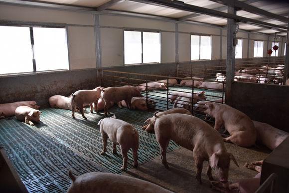 现代化养猪场设计图,小型养猪场投资低回报高!