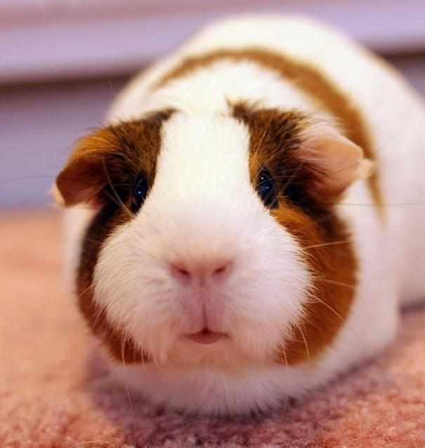 天竺鼠好养吗_野生的天竺鼠身材苗条运动灵敏,长时间被人类当作宠物养殖以来由于好
