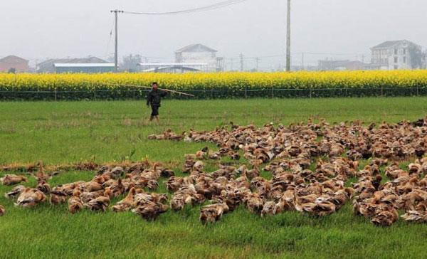 在农村养鸭子赚钱吗,有人这样生态养鸭年收入却5万元!