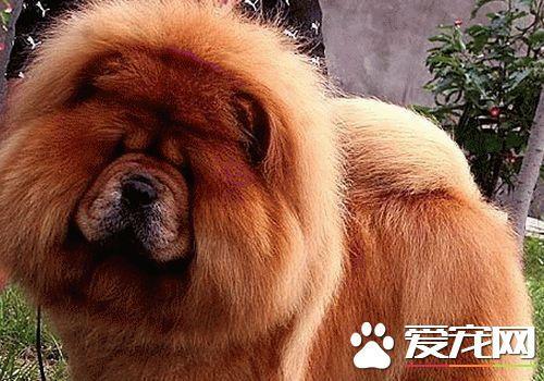松狮犬能长多大,松狮犬好不好养多少钱一只?