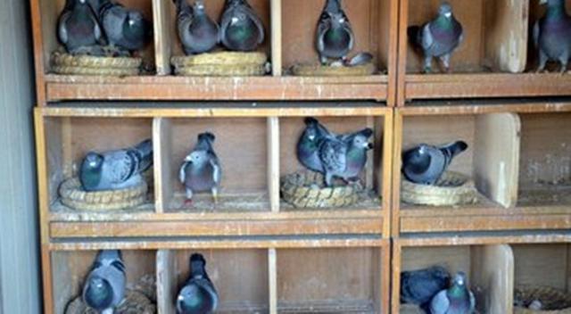 在农村养鸽子赚钱吗(一年的利润你知道怎么算的么)