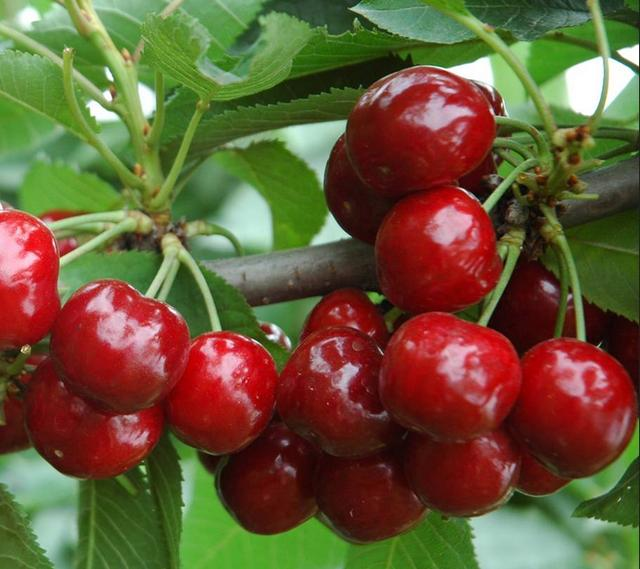 樱桃的功效与作用及禁忌,滋润肌肤补元气(老少皆宜)