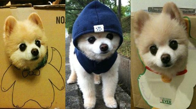 博美犬多少钱一只,如何挑选出优秀的小博美幼犬
