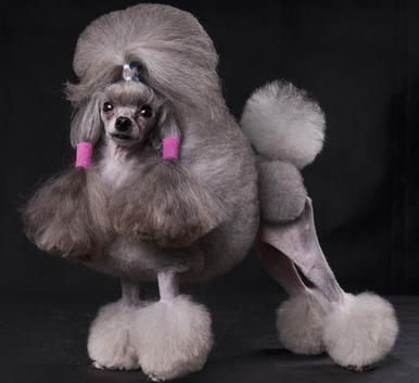 贵宾犬和泰迪犬到底是什么关系?它们之间到底有什么区别
