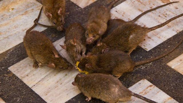 老鼠太多怎么办?只需一个小妙招,老鼠再也不会来了