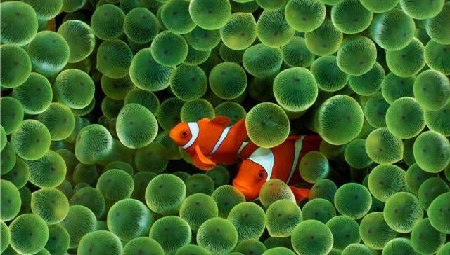 小丑鱼怎么养?养小丑鱼用的水怎么弄?