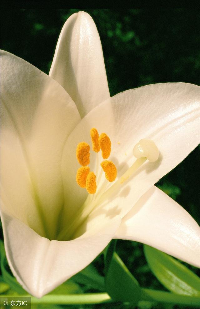 怎样养殖香水百合?香水百合的养殖方法