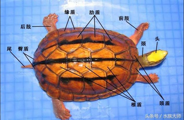 新手如何养好一只金钱龟,懂这些就够了
