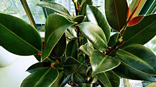 一个养橡皮树的小方法,想让它长几个头,就能长几个头!