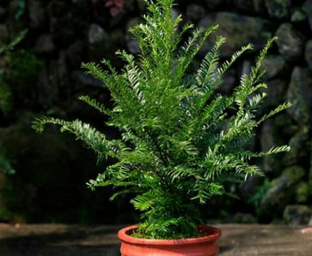 怎样才能在家中养好红豆杉呢?