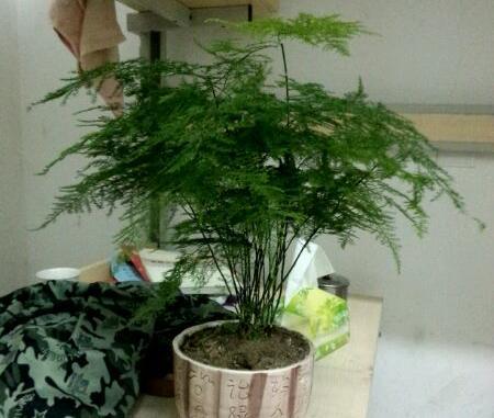 想要文竹长的好,学会修剪这一招,叶子油绿更有型!