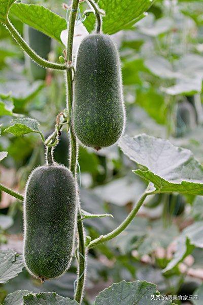 冬瓜、西瓜、南瓜,北瓜是什么瓜?其实北瓜我们早就吃过了