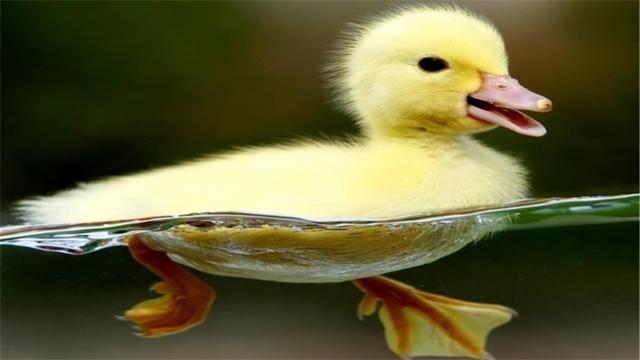 科学养鸭子的方法有哪些?养鸭子的注意事项是什么?
