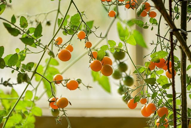 小番茄好吃又美觀,種植方法很簡單,陽臺就能種幾盆