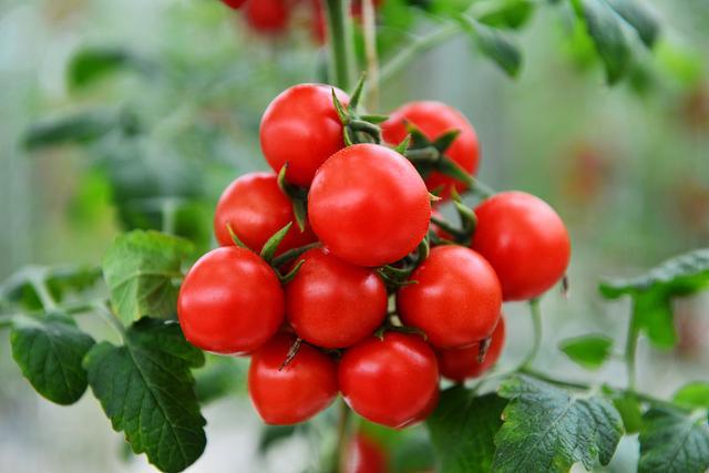 小番茄好吃又美观,种植方法很简单,阳台就能种几盆