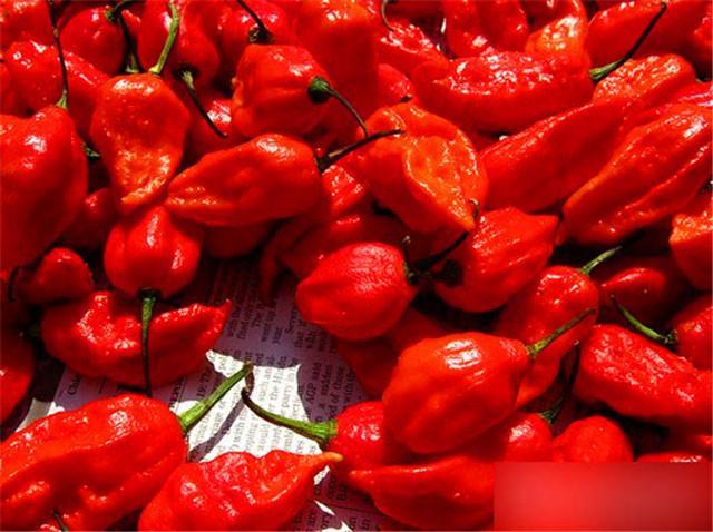 魔鬼椒的种植条件是什么看法;分享魔鬼椒的种植条件是什么
