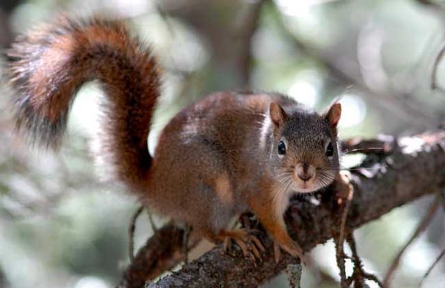 松鼠的尾巴有多长 松鼠尾巴有什么作用