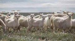 顶级羊绒代名词鄂尔多斯,凭什么敢卖这么贵?看了这些就不心疼了